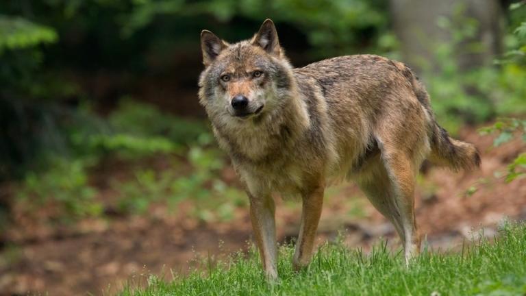 Oog in oog met een wolf